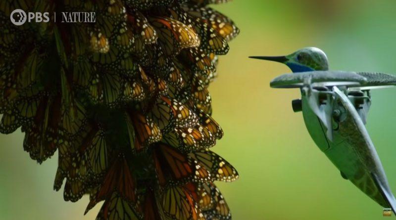 drona colibri fluturii monarch